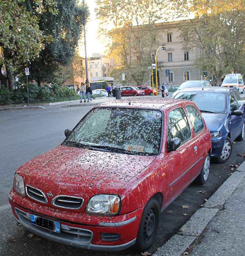 Image of car covered in droppings from birds along the Tiber