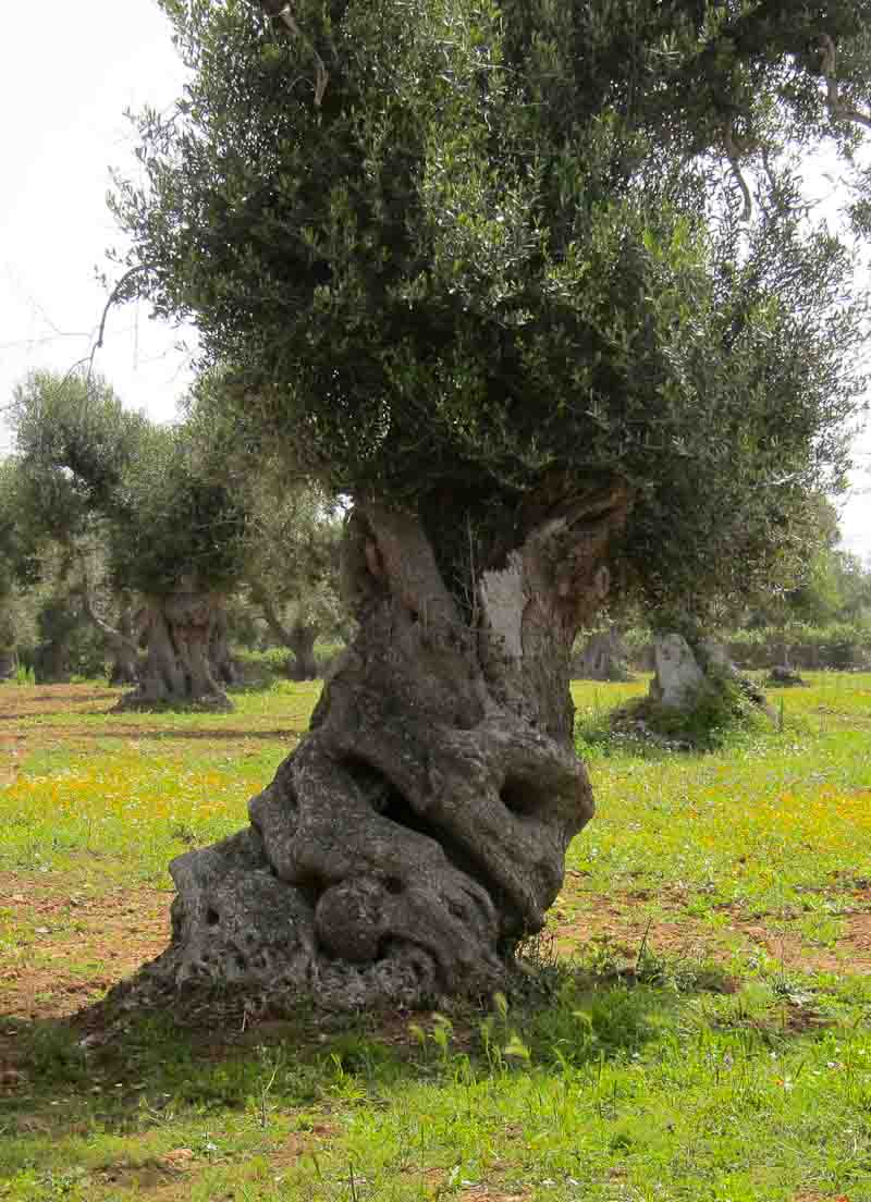 Photo of old olive tree