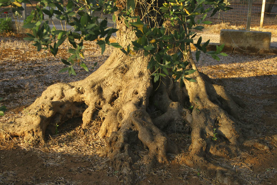 The value of old olive trees