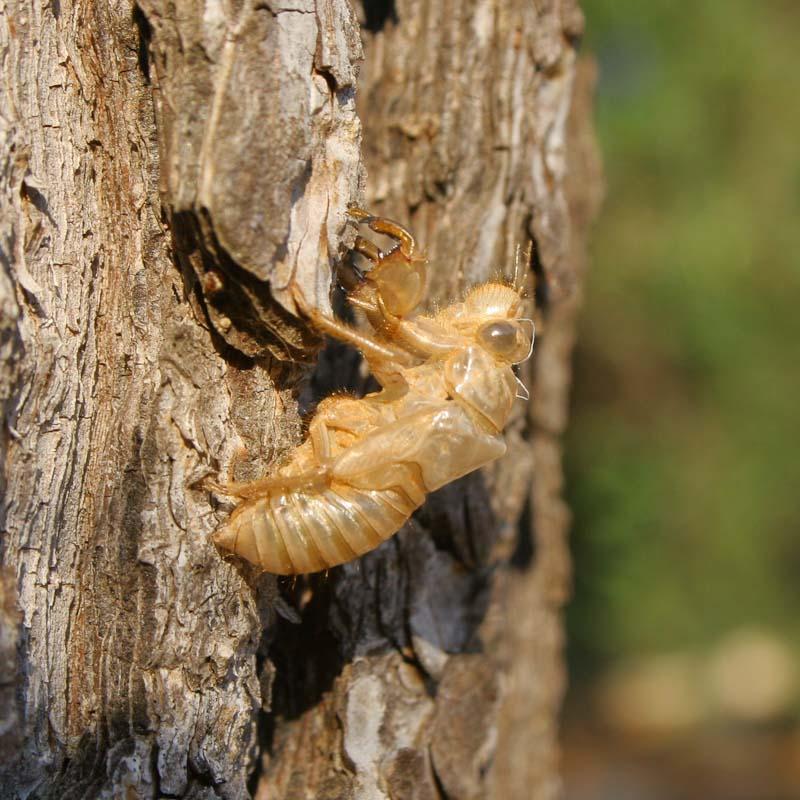 Cicadas noise myth and biology