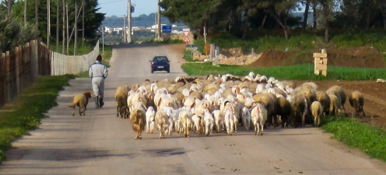 Contemporary shepherds - Italian Notes