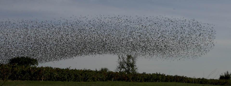 Photo of birds cloud in Italy