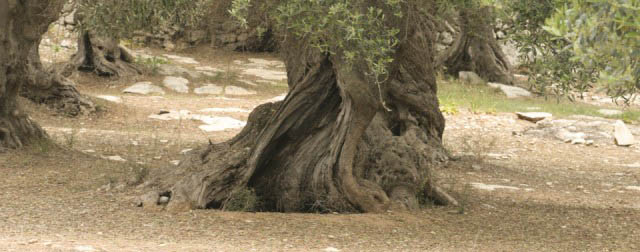 Photo of old olive trees