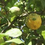 Image of growing lemons in Italy