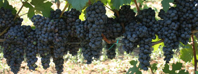 Grape harvest in Puglia - Italian Notes