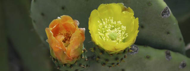 Prickly pear cactus: Indian figs from Mexico
