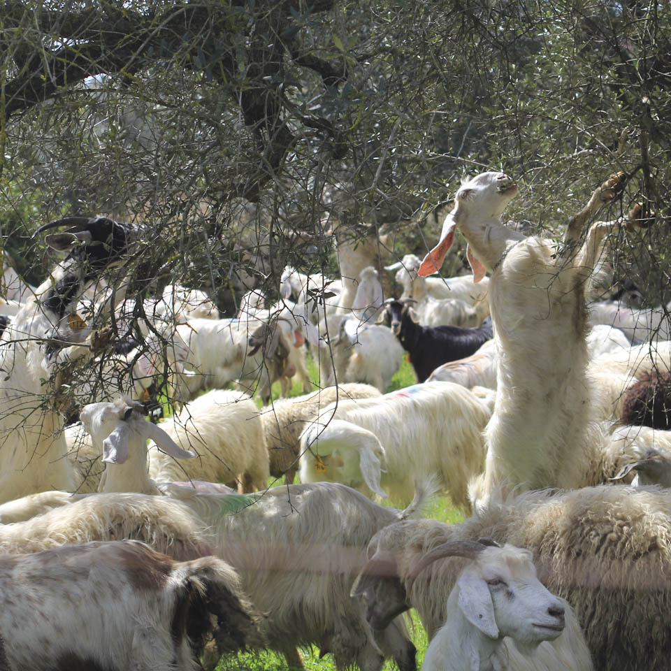Shepherds in Italy